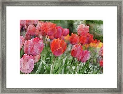Pink Tulip Macro Framed Print