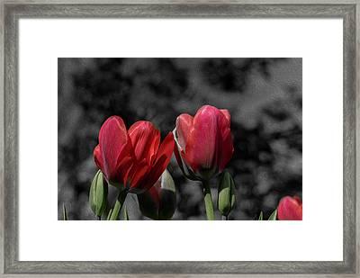 Pink Tulip Pop Framed Print