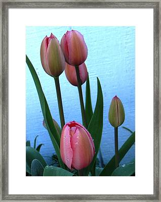 Pink Tulips 2012 Framed Print
