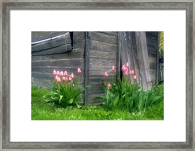 Pink Tulips And Weathered Shed Framed Print by Roger Soule