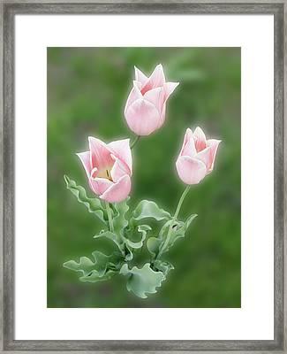Pink Tulips Framed Print by Rockstar Artworks