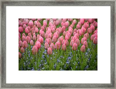 Framed Print featuring the photograph Pink Tulips by Phyllis Peterson
