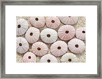 Pink Urchin Shells Framed Print by Brandon Tabiolo