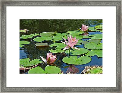 Pink Water Lilies Framed Print by Suzanne Gaff