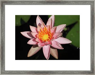Framed Print featuring the photograph Pink Water Lily 2016 by Suzanne Gaff