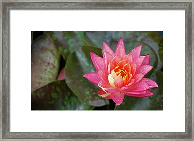 Framed Print featuring the photograph Pink Water Lily Beauty by Amee Cave