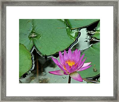 Framed Print featuring the photograph Pink Water Lily by Judy Vincent