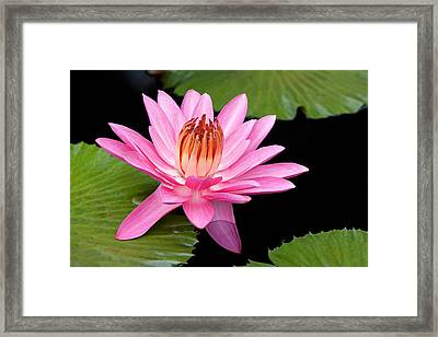 Pink Water Lily Longwood Gardens Framed Print