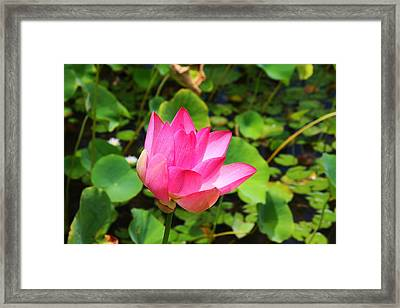 Pink Water Lotus Framed Print by Michael Palmer