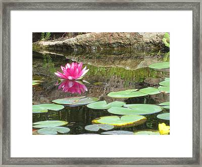 Pink Waterlilly  Framed Print