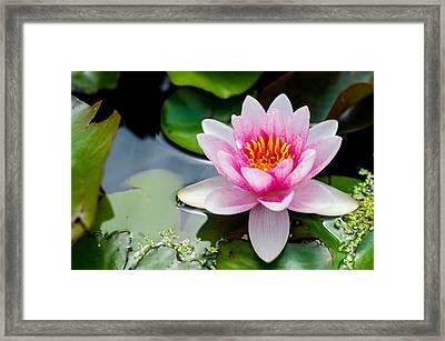 Pink Waterlily Framed Print by Daniel Precht