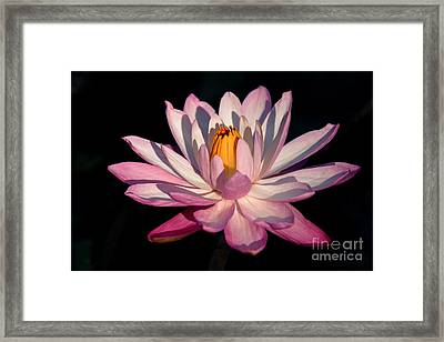Pink Waterlily Framed Print by Liesl Walsh