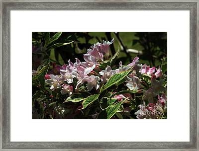 Pink  Weigiela Framed Print