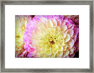 Pink White Dahlias Framed Print by Garry Gay