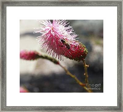 Pink Wildflower And Bee Framed Print