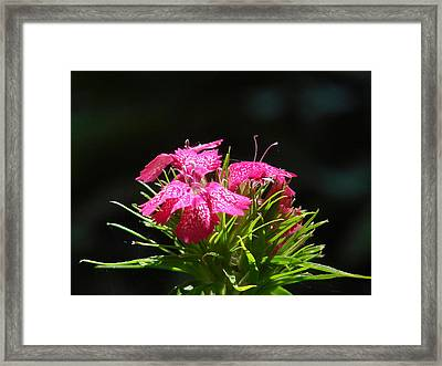 Pink William Framed Print