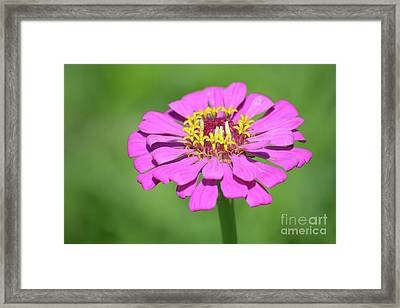 Pink Zinnia  Framed Print by Ruth Housley