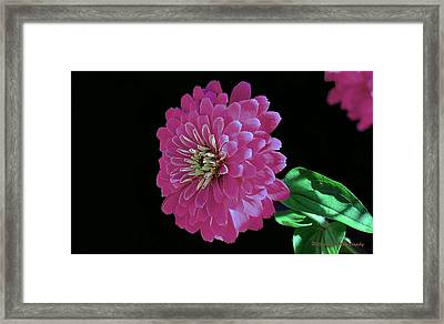 Pink Zinnia Framed Print by William Lallemand