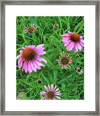 Pinks In Bloom Framed Print by Barbara McDevitt