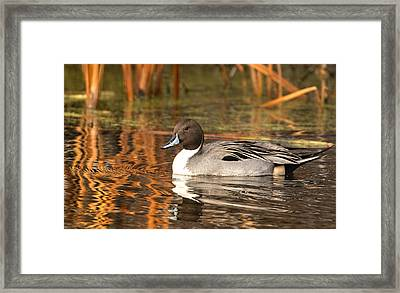 Framed Print featuring the photograph Pintail by Kelly Marquardt
