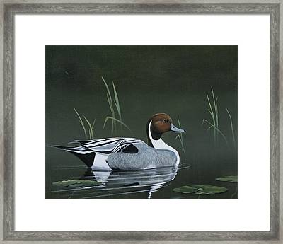 Pintail Portrait Framed Print by Don Griffiths
