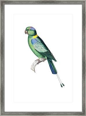 Pintailed Parrot Framed Print