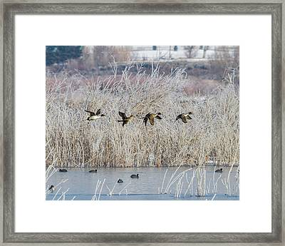 Pintails Along The Provo River Framed Print by TL Mair