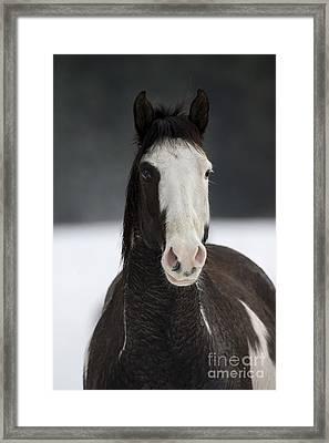 Pinto Horse Framed Print by Jean-Louis Klein & Marie-Luce Hubert