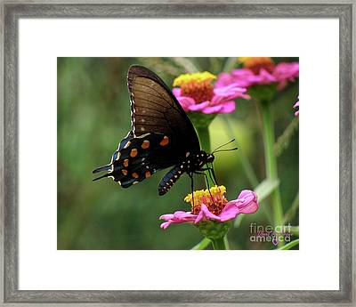 Framed Print featuring the photograph Pipevine Swallowtail Butterfly by Donna Brown