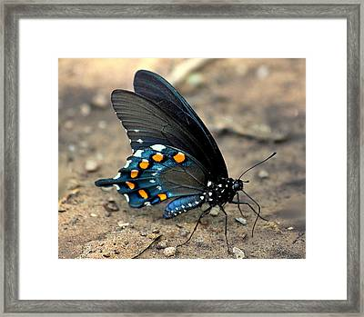 Pipevine Swallowtail Close-up Framed Print