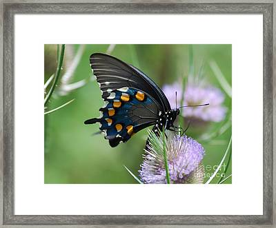 Pipevine Swallowtail Framed Print by Randy Bodkins