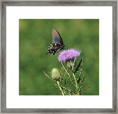 Pipevine Swallowtail Framed Print by Sandy Keeton