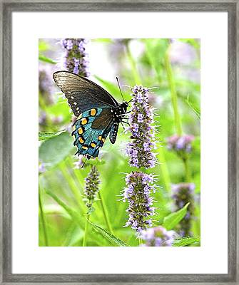 Pipevine Swallowtail  Framed Print