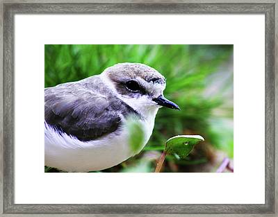 Framed Print featuring the photograph Piping Plover by Anthony Jones
