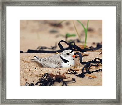 Piping Plover Framed Print