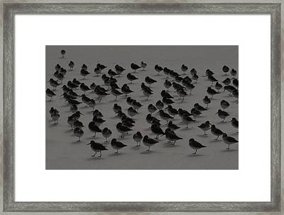 Piping Plovers Congregation Framed Print by Christopher Kirby