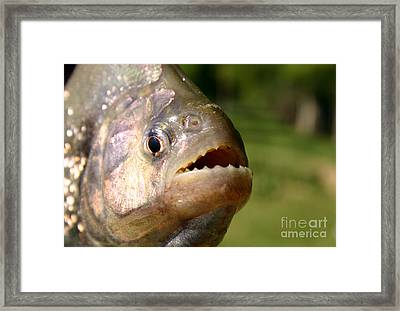 Piranha Framed Print by Balanced Art