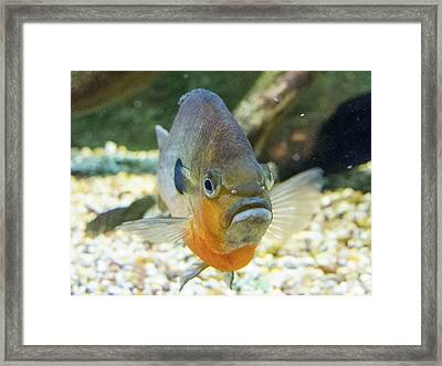 Piranha Behind Glass Framed Print