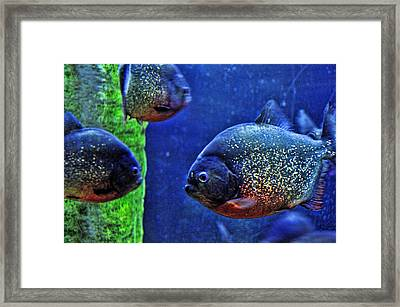 Framed Print featuring the photograph Piranha Blue by Jan Amiss Photography