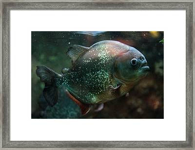 Piranha Framed Print by Dwight Cook