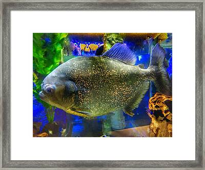 Piranha Fish Framed Print by Anne Sands