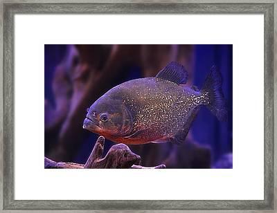 Piranha Fish Framed Print by Kristine Nichols