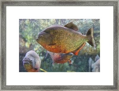 Piranha Framed Print by Martin Newman