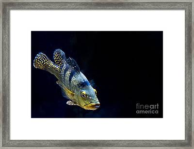 Piranha Framed Print by Zsuzsanna Szugyi