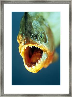 Piranha's Mouth Framed Print by David Aubrey