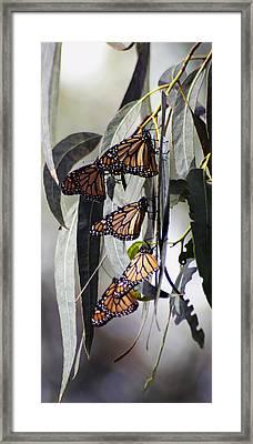 Pismo Butterflies Framed Print