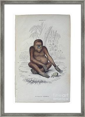 Pithecus Satyrus Framed Print