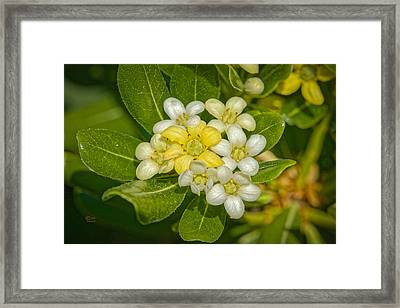 Pittosporum Flowers Framed Print