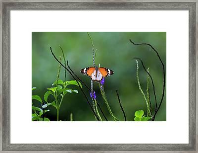 Plain Tiger Butterfly Framed Print by David Gn