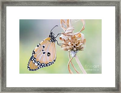 Plain Tiger Butterfly Resting Framed Print by Tim Gainey